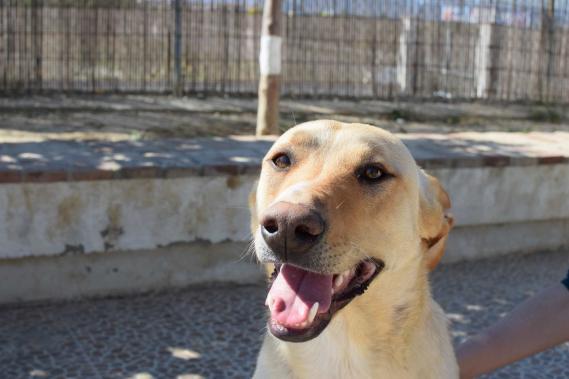 Maxcotea   Foto de Ramiro - Perro, Raza: Labrador Retriever   Maxcotea, Adopción de mascotas. Adopción de perros. Adopción de gatos.