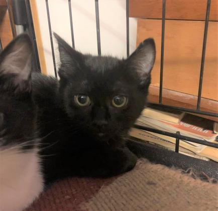 Maxcotea | Foto de DIANA - APAMaG - Gato, Raza: Gato común europeo | Maxcotea, Adopción de mascotas. Adopción de perros. Adopción de gatos.