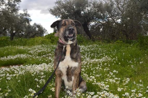 Maxcotea | Foto de Tayson - Perro, Raza: Mastein | Maxcotea, Adopción de mascotas. Adopción de perros. Adopción de gatos.