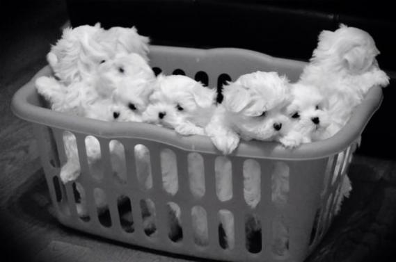 Maxcotea | Foto de Maltes - Perro, Raza: Bichon maltes | Maxcotea, Adopción de mascotas. Adopción de perros. Adopción de gatos.