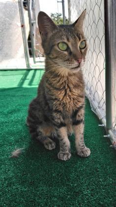 Maxcotea | Foto de Hada - Gato, Raza: Gato común europeo | Maxcotea, Adopción de mascotas. Adopción de perros. Adopción de gatos.