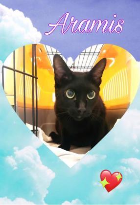 Maxcotea | Foto de Aramis - Gato, Raza: Bombay | Maxcotea, Adopción de mascotas. Adopción de perros. Adopción de gatos.