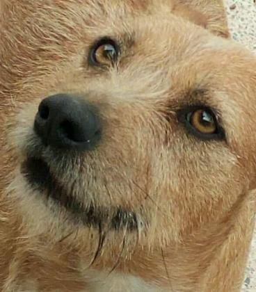 Maxcotea | Foto de Lara - Perro, Raza: Affenpinscher | Maxcotea, Adopción de mascotas. Adopción de perros. Adopción de gatos.