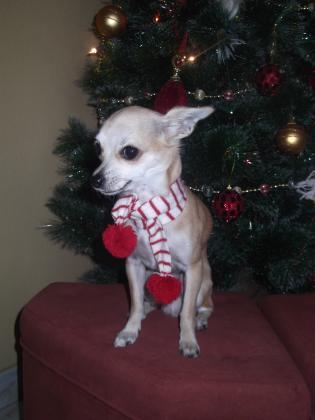 Maxcotea | Foto de Duke - Perro, Raza: Chihuahua | Maxcotea, Adopción de mascotas. Adopción de perros. Adopción de gatos.