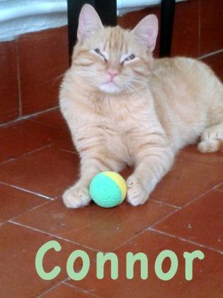 Maxcotea | Foto de Connor - Gato, Raza: Gato común europeo | Maxcotea, Adopción de mascotas. Adopción de perros. Adopción de gatos.