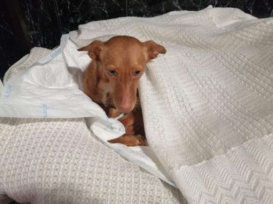 Maxcotea | Foto de Olivia - Perro, Raza: Podenco Ibicenco | Olivia | Maxcotea, Adopción de mascotas. Adopción de perros. Adopción de gatos.