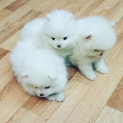 Maxcotea | Foto de Pomerania - Perro, Raza: Pomerania | Maxcotea, Adopción de mascotas. Adopción de perros. Adopción de gatos.