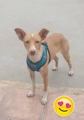Maxcotea | Foto de Ambar - Perro, Raza: Podenco Ibicenco | Maxcotea, Adopción de mascotas. Adopción de perros. Adopción de gatos.
