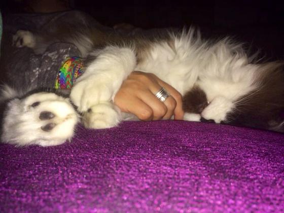 Maxcotea | Foto de Misifus - Gato, Raza: Abisinio | Maxcotea, Adopción de mascotas. Adopción de perros. Adopción de gatos.