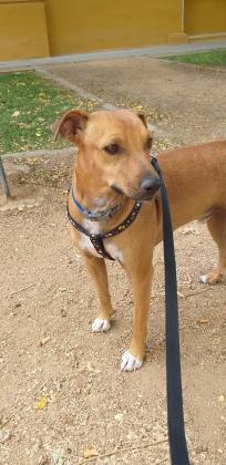 Maxcotea | Foto de Ícaro - Perro, Raza: Pinscher | Ícaro | Maxcotea, Adopción de mascotas. Adopción de perros. Adopción de gatos.