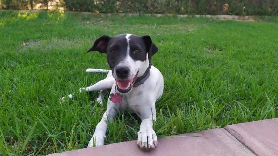 Maxcotea | Foto de Winner - Perro, Raza: Bodeguero Andaluz | Maxcotea, Adopción de mascotas. Adopción de perros. Adopción de gatos.