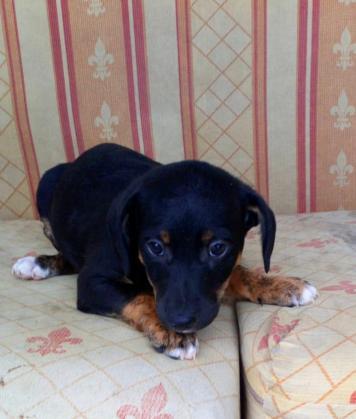 Maxcotea | Foto de vellmer - Perro, Raza: Otro | vellmer | Maxcotea, Adopción de mascotas. Adopción de perros. Adopción de gatos.