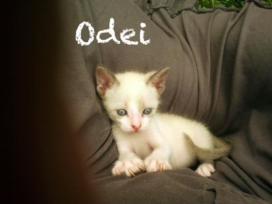 Maxcotea | Foto de Odei(ADOPTADO) - Gato, Raza: Siames | Maxcotea, Adopción de mascotas. Adopción de perros. Adopción de gatos.