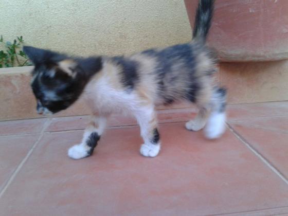 Maxcotea | Foto de Mini - Gato, Raza: Abisinio | Maxcotea, Adopción de mascotas. Adopción de perros. Adopción de gatos.