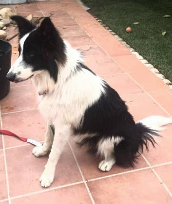Maxcotea   Foto de VERUS - Perro, Raza: Border Collie   VERUS busca hogar   Maxcotea, Adopción de mascotas. Adopción de perros. Adopción de gatos.