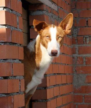 Maxcotea | Foto de Goku - Perro, Raza: Podenco Portugues | Maxcotea, Adopción de mascotas. Adopción de perros. Adopción de gatos.