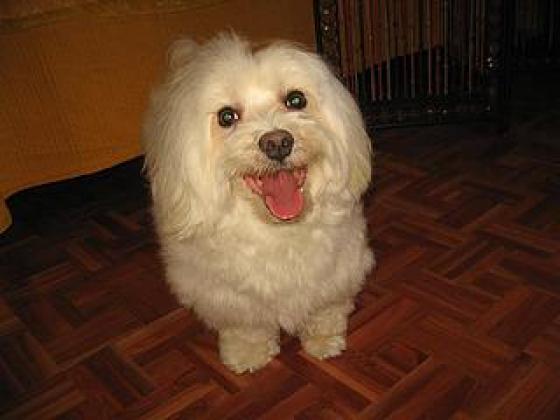 Maxcotea | Foto de Joy - Perro, Raza: Bichon maltes | Maxcotea, Adopción de mascotas. Adopción de perros. Adopción de gatos.