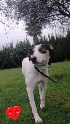 Maxcotea | Foto de Brisa - Perro, Raza: Bodeguero Andaluz | Brisa | Maxcotea, Adopción de mascotas. Adopción de perros. Adopción de gatos.