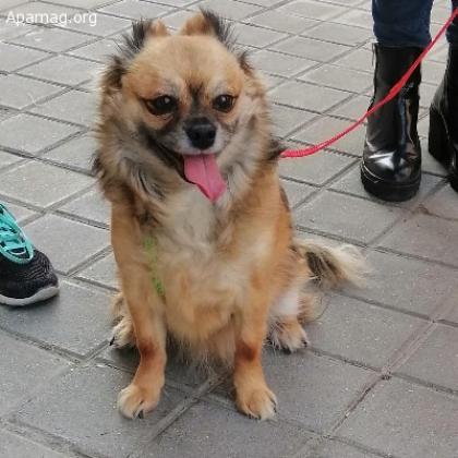 Maxcotea | Foto de Choco - Perro, Raza: Chihuahua | Maxcotea, Adopción de mascotas. Adopción de perros. Adopción de gatos.