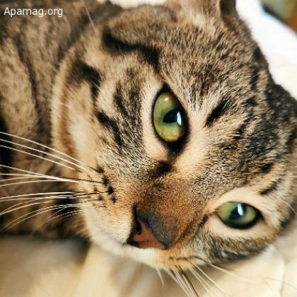 Maxcotea | Foto de Rhon - Gato, Raza: Gato común europeo | Maxcotea, Adopción de mascotas. Adopción de perros. Adopción de gatos.