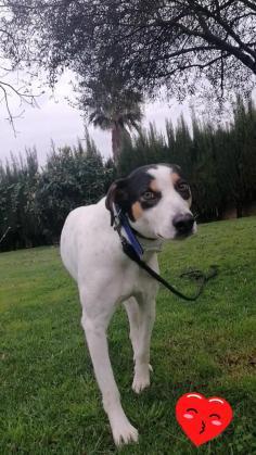 Maxcotea | Foto de Brisa - Perro, Raza: Bodeguero Andaluz | Maxcotea, Adopción de mascotas. Adopción de perros. Adopción de gatos.