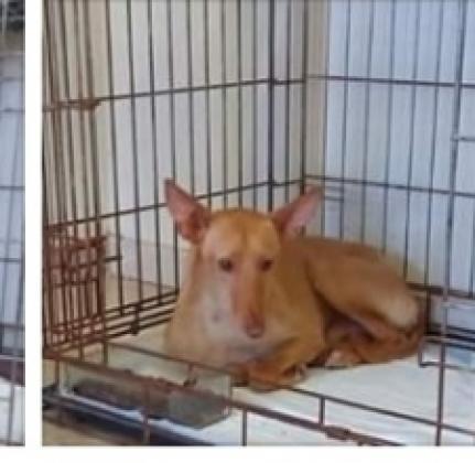 Maxcotea | Foto de Baxter - Perro, Raza: Podenco Ibicenco | Baxter | Maxcotea, Adopción de mascotas. Adopción de perros. Adopción de gatos.