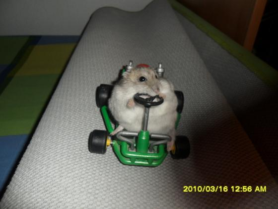Maxcotea   Foto de Bolita - Roedor, Raza: Hámster ruso   Fotos de Bolita   Maxcotea, Adopción de mascotas. Adopción de perros. Adopción de gatos.