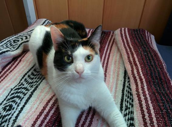 Maxcotea | Foto de Sofi - Gato, Raza: Gato común europeo | Maxcotea, Adopción de mascotas. Adopción de perros. Adopción de gatos.