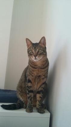Maxcotea | Foto de Duke - Gato, Raza: Gato común europeo | Maxcotea, Adopción de mascotas. Adopción de perros. Adopción de gatos.