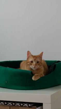 Maxcotea | Foto de Bairon - Gato, Raza: Gato común europeo | Maxcotea, Adopción de mascotas. Adopción de perros. Adopción de gatos.