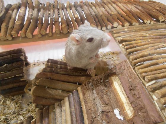 Maxcotea | Foto de Chris - Roedor, Raza: Jerbo de mongolia | Maxcotea, Adopción de mascotas. Adopción de perros. Adopción de gatos.