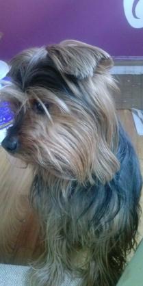 Maxcotea   Foto de wild - Perro, Raza: Yorkshire terrier   Maxcotea, Adopción de mascotas. Adopción de perros. Adopción de gatos.