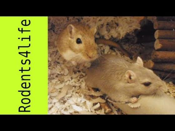 Maxcotea | Foto de Kira - Roedor, Raza: Jerbo de mongolia | Destruyendo el tubo | Maxcotea, Adopción de mascotas. Adopción de perros. Adopción de gatos.