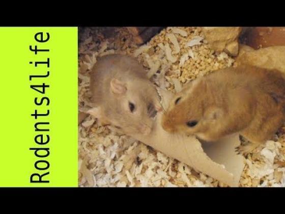 Maxcotea | Foto de Kira - Roedor, Raza: Jerbo de mongolia | Kira y Chris | Maxcotea, Adopción de mascotas. Adopción de perros. Adopción de gatos.