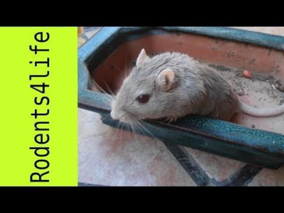 Maxcotea | Foto de Kira - Roedor, Raza: Jerbo de mongolia | Recopilacion | Maxcotea, Adopción de mascotas. Adopción de perros. Adopción de gatos.