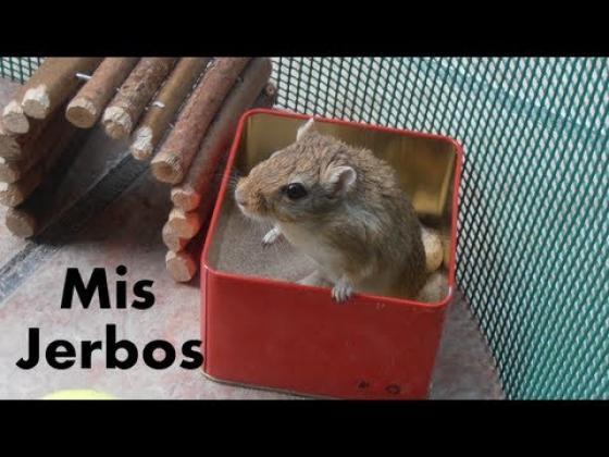 Maxcotea | Foto de Kira - Roedor, Raza: Jerbo de mongolia | Primer dia de mis jerbos | Maxcotea, Adopción de mascotas. Adopción de perros. Adopción de gatos.
