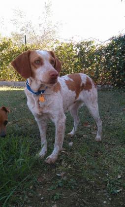 Maxcotea | Foto de África - Perro, Raza: Epagneul breton | Maxcotea, Adopción de mascotas. Adopción de perros. Adopción de gatos.