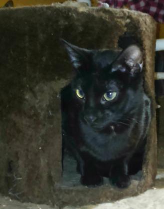 Maxcotea | Foto de Athos - Gato, Raza: Bombay | Maxcotea, Adopción de mascotas. Adopción de perros. Adopción de gatos.