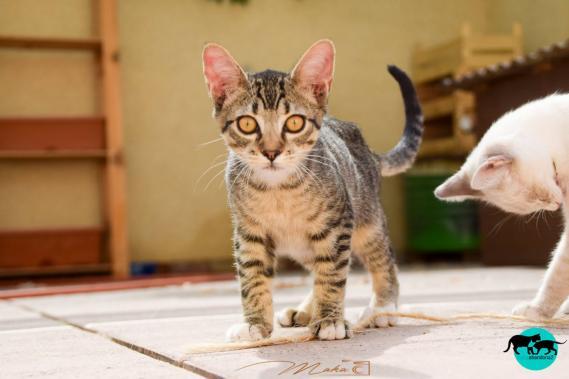 Maxcotea | Foto de MURAKAMI - Gato, Raza: Gato común europeo | Maxcotea, Adopción de mascotas. Adopción de perros. Adopción de gatos.