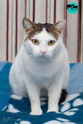 Maxcotea | Foto de TRIANA - Gato, Raza: Gato común europeo | Maxcotea, Adopción de mascotas. Adopción de perros. Adopción de gatos.
