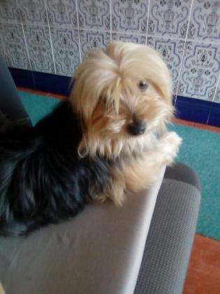 Maxcotea | Foto de Roni - Perro, Raza: Yorkshire terrier | Maxcotea, Adopción de mascotas. Adopción de perros. Adopción de gatos.