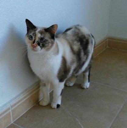 Maxcotea | Foto de PICHI - Gato, Raza: Gato común europeo | PICHI EN ADOPCION | Maxcotea, Adopción de mascotas. Adopción de perros. Adopción de gatos.