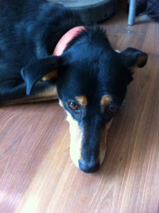 Maxcotea | Foto de Zarco - Perro, Raza: Otro | Zarco | Maxcotea, Adopción de mascotas. Adopción de perros. Adopción de gatos.