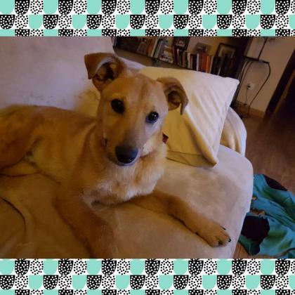 Maxcotea | Foto de TOBY - Perro, Raza: Otterhound | Maxcotea, Adopción de mascotas. Adopción de perros. Adopción de gatos.