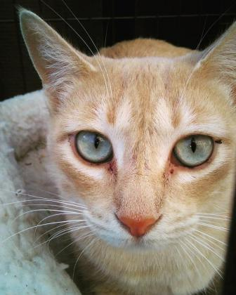 Maxcotea | Foto de HIMILCE - Gato, Raza: Gato común europeo | Maxcotea, Adopción de mascotas. Adopción de perros. Adopción de gatos.