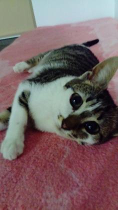 Maxcotea | Foto de CORA  - Gato, Raza: Gato común europeo | Maxcotea, Adopción de mascotas. Adopción de perros. Adopción de gatos.