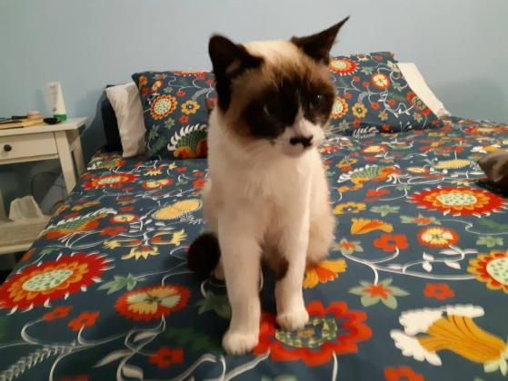 Maxcotea | Foto de CASSIDY - Gato, Raza: Gato común europeo | Maxcotea, Adopción de mascotas. Adopción de perros. Adopción de gatos.