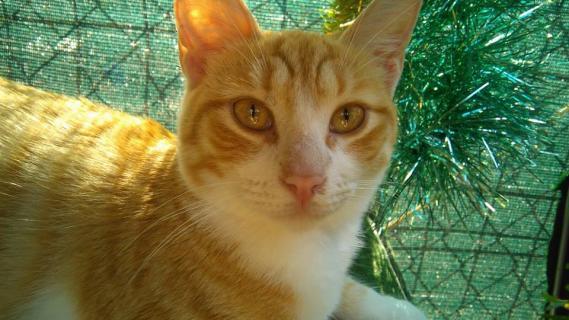 Maxcotea | Foto de MILI - Gato, Raza: Gato común europeo | Maxcotea, Adopción de mascotas. Adopción de perros. Adopción de gatos.