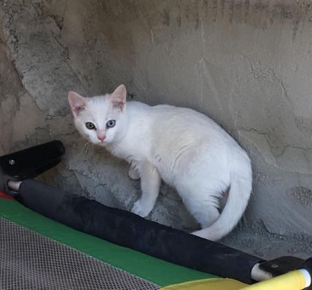 Maxcotea | Foto de GATITOS EN ADOPCION - Gato, Raza: Gato común europeo | Maxcotea, Adopción de mascotas. Adopción de perros. Adopción de gatos.