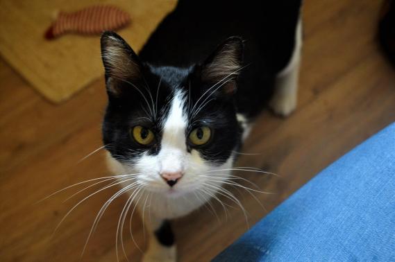 Maxcotea | Foto de VICKY - Gato, Raza: Gato común europeo | Maxcotea, Adopción de mascotas. Adopción de perros. Adopción de gatos.